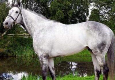 New Stallion for Mickley Stud – Almanaara